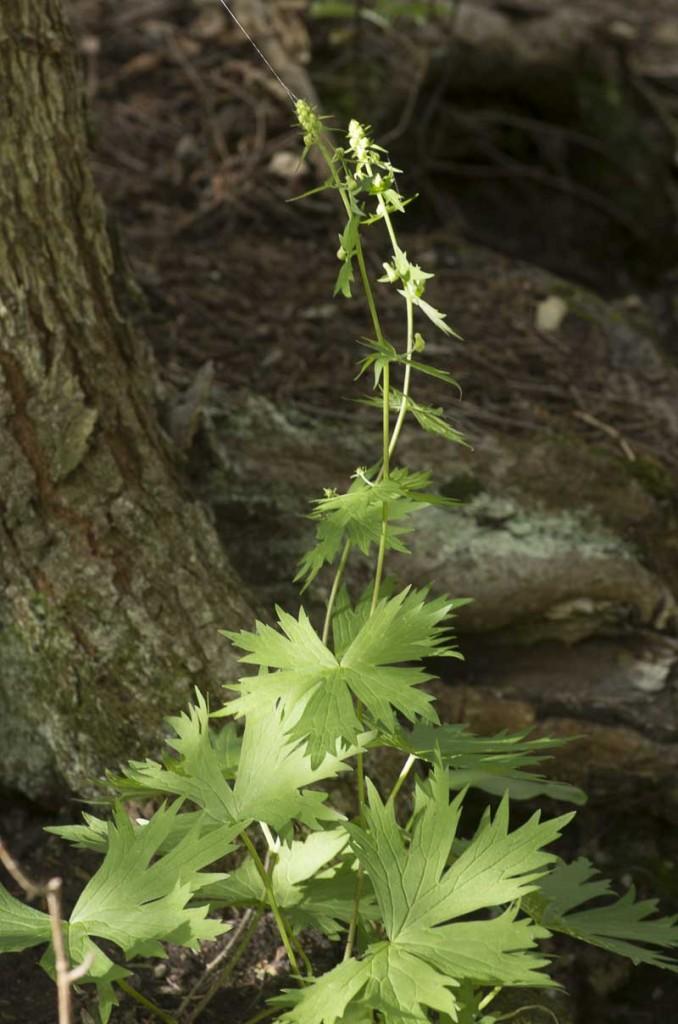 Aconitum lycoctonum ssp neapolitanum