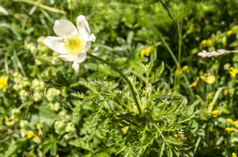 Anemone-alpina-subsp.-alpina
