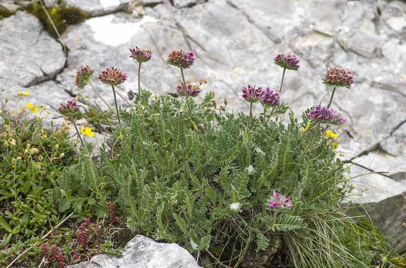Anthyllis montana ssp montana