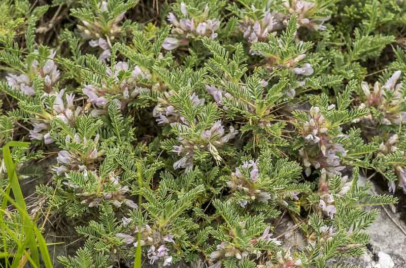 Astragalus sempervirense Lam.