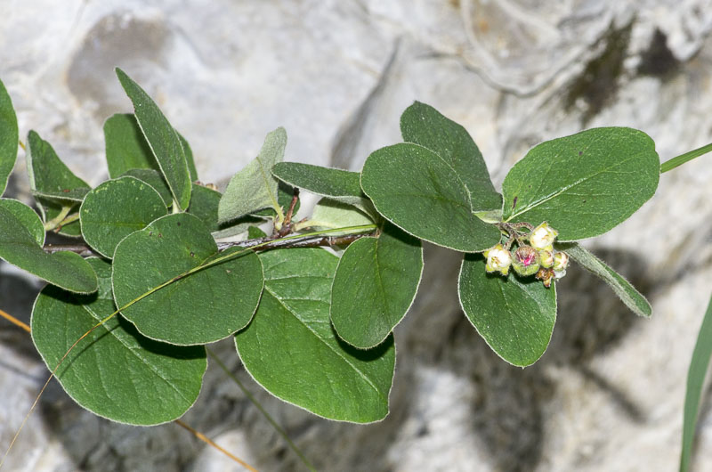 Cotoneaster tomentosus Lindl.