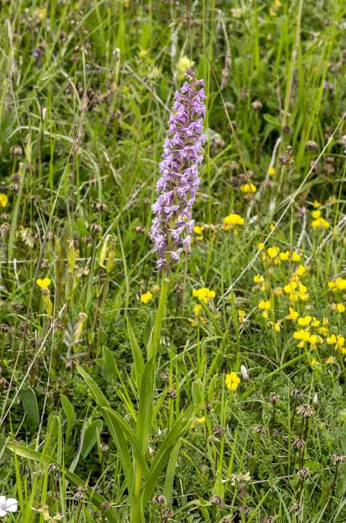 Gymnadenia conopsea (L.)R.Br.