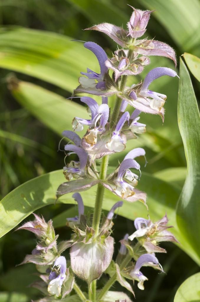 Salvia sclarea L.