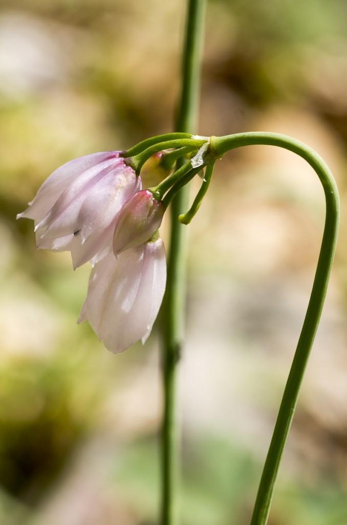 Allium narcissiflorum Vill.