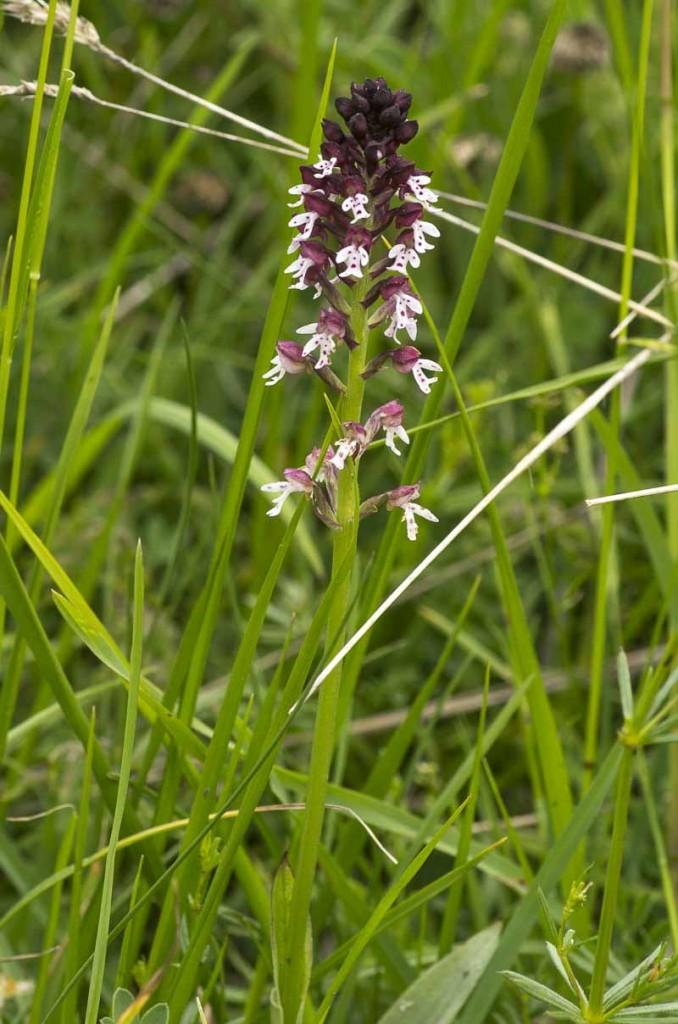 Neotinea ustulata (L.)Bateman-Pridgeon