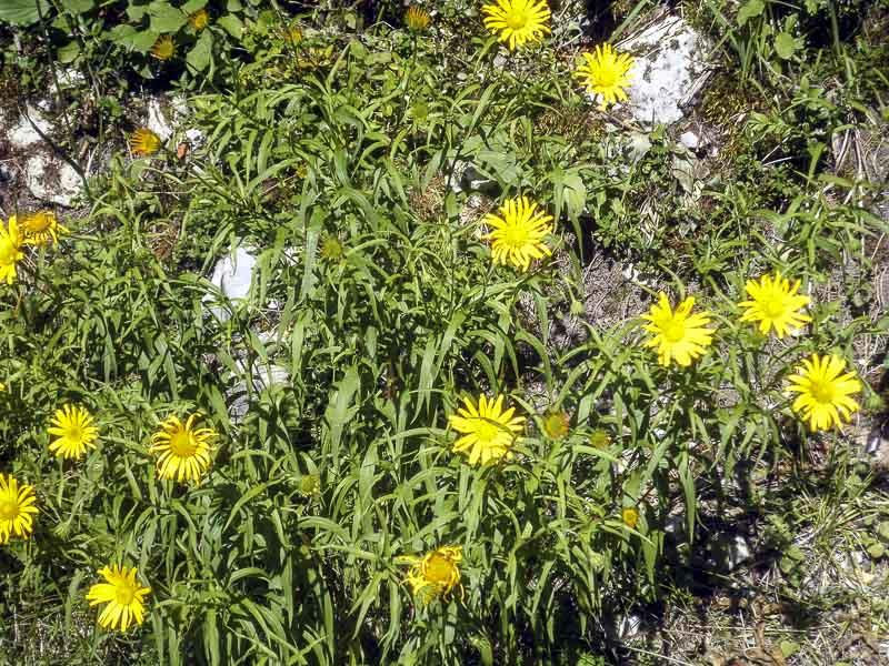 Buphthalmum salicinum L.