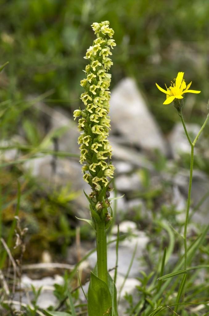 Pseudorchis albida (L.) A. Löve