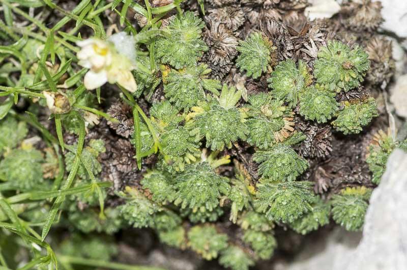 Saxifraga delphinensis Ravaud