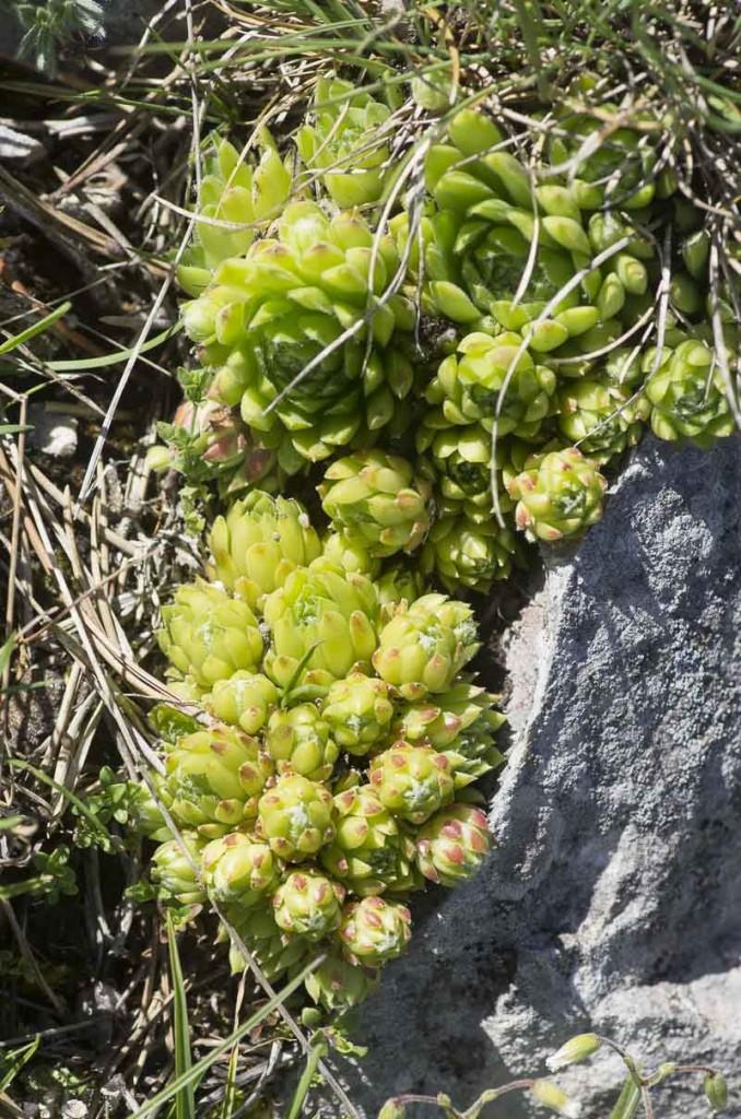 Sempervivum calcareum L.
