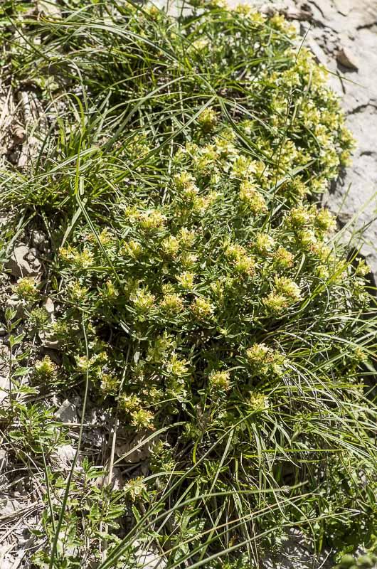 Teucrium montanum L