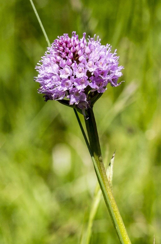 Traunsteinera-globosa-(L.)-Rchb.