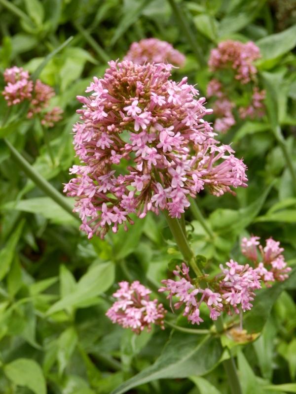 02-Centhranthus ruber