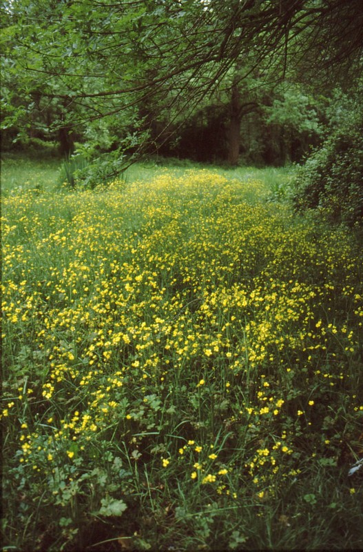05-Vaugrenier, étendue de Ranunculus velutinus