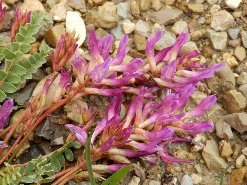 06-Astragalus monspessulanus