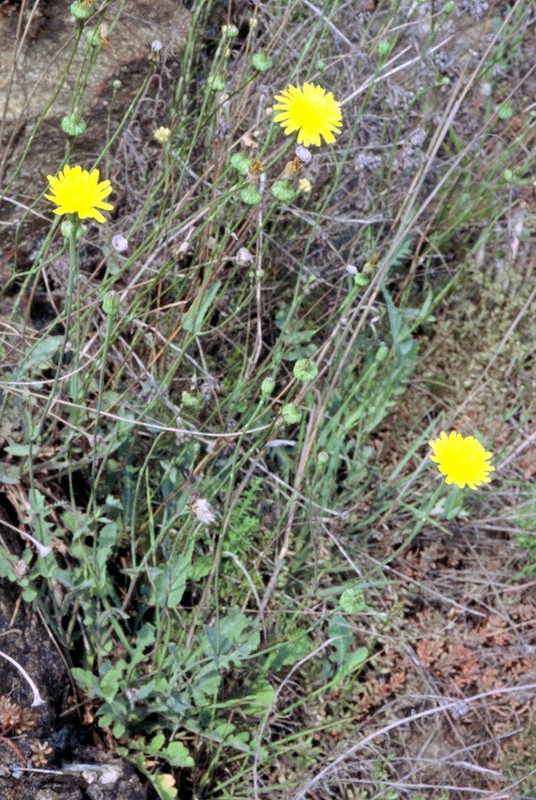 06-Reichardia picroides
