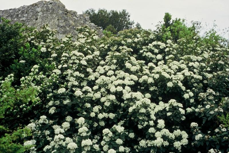 07-Viburnum tinus