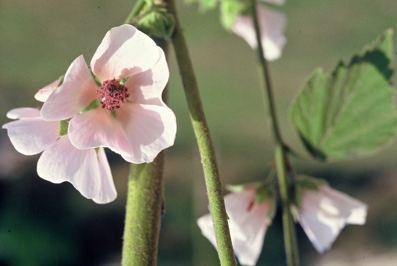 08-Althaea officinalis