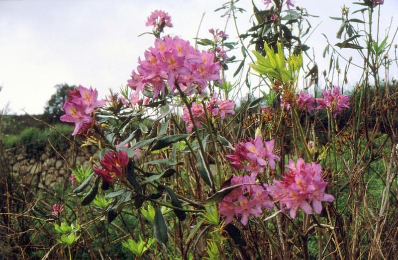 1987 Portugal Rhododendron pontique à Montchique