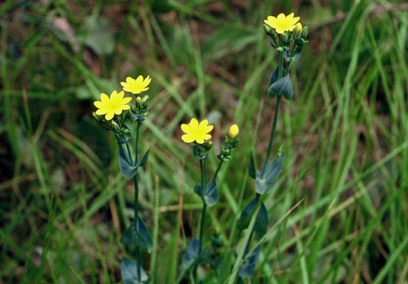 09-Blackstonia perfoliata