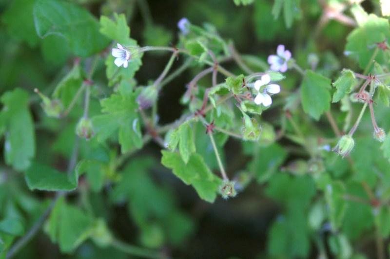 09-Geranium rotundifolium