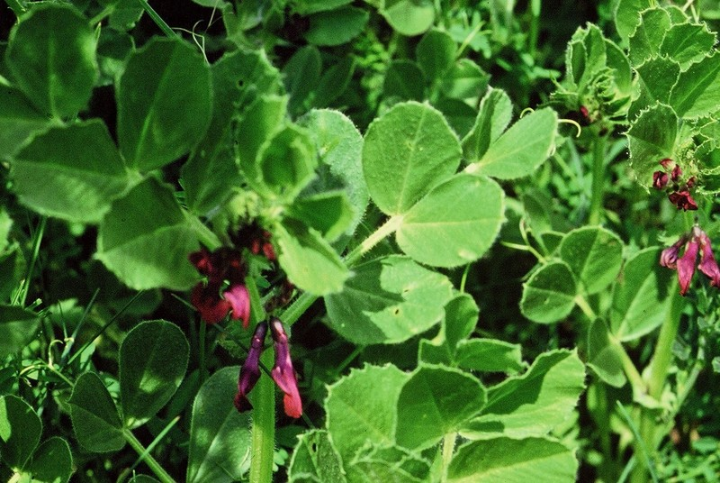 09-Vicia narbonensis