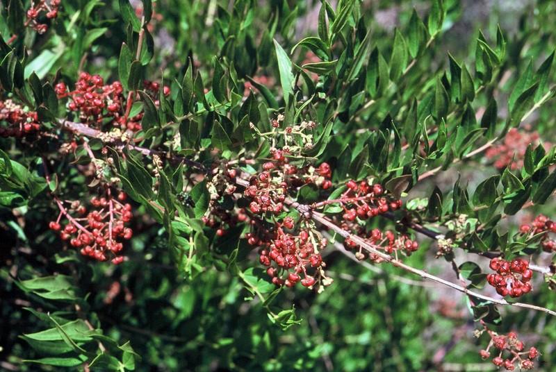 10-Coriaria myrtifolia