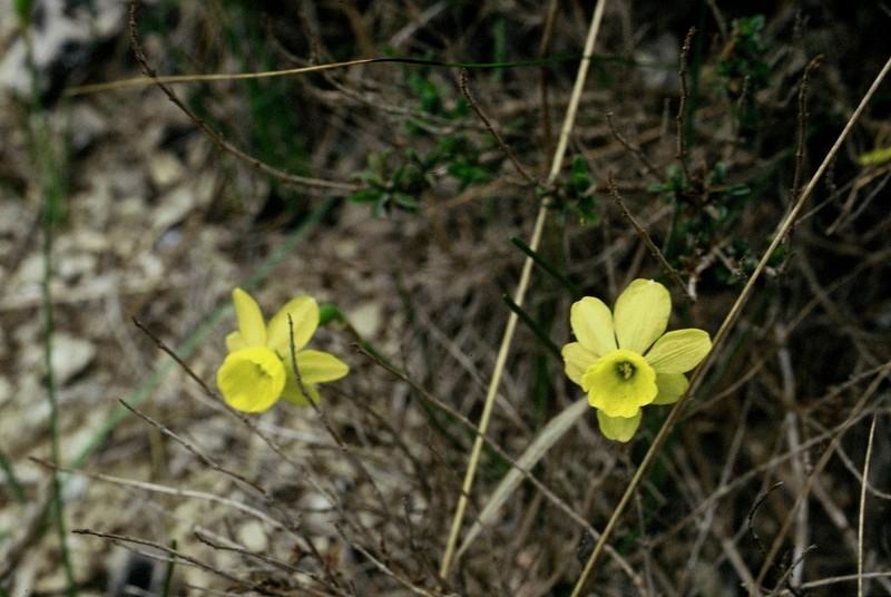 10-Narcissus assoanus
