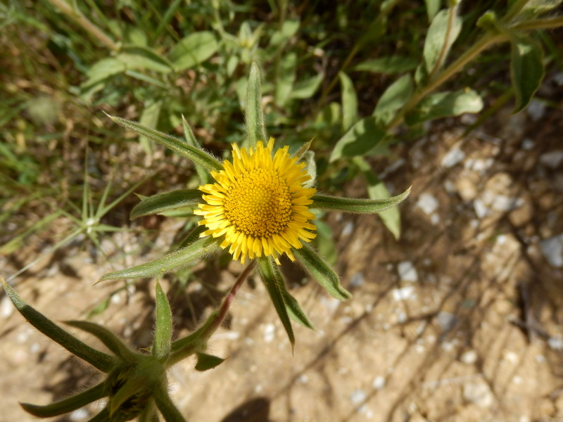 10-Pallenis spinosa