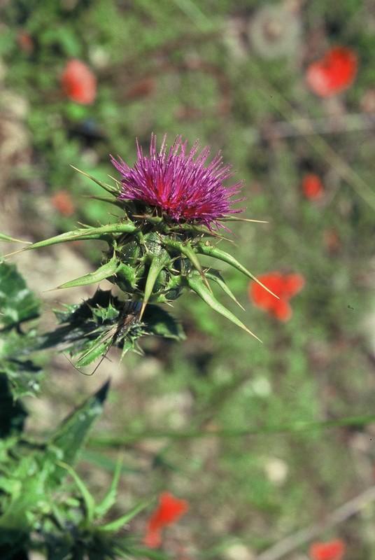 11-Silybum marianum