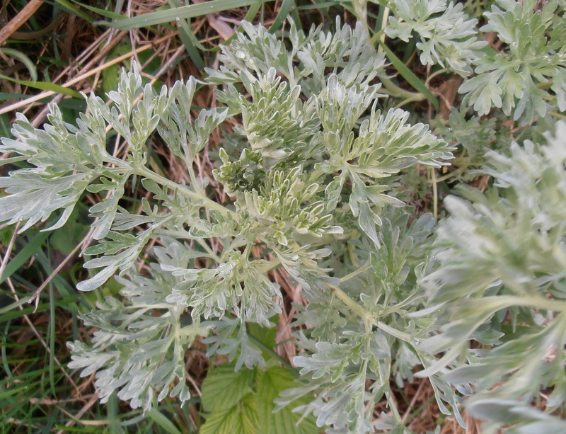 12-Artemisia absinthium