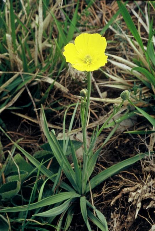 12-Ranunculus gramineus