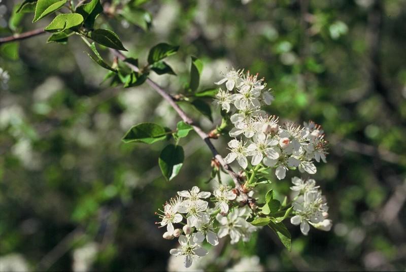 13-Prunus mahaleb
