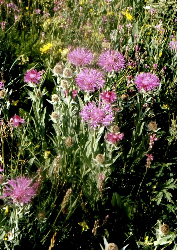 1985 Montgenèvre Centaurea uniflora