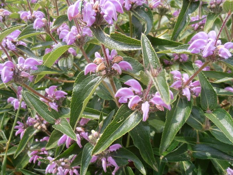 16-Phlomis herba venti