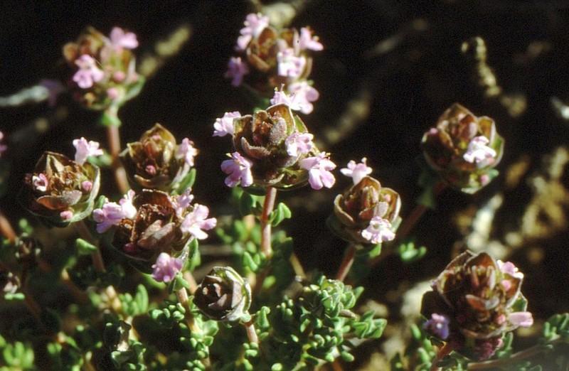 1987 Portugal Thymus camphorata