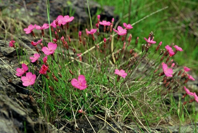 18-Dianthus subacaulis brachyanthus