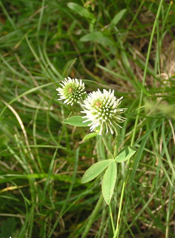 1985 Montgenèvre-Trifolium montanum 24-05-2009 10-58-06