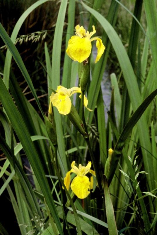19-Iris pseudo acorus