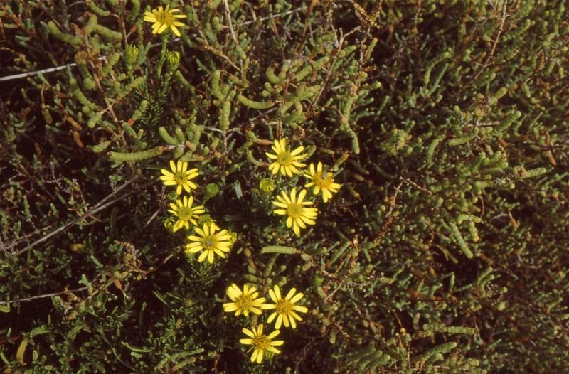 1983 105 Lang 020 90 10 Inula crithmoides