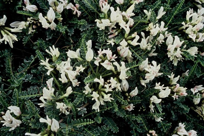 1983 133 Astragalus tragacantha