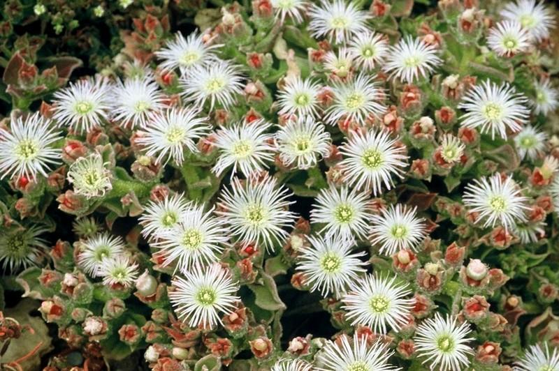 1983 139 Mesembryanthemum cristallinum