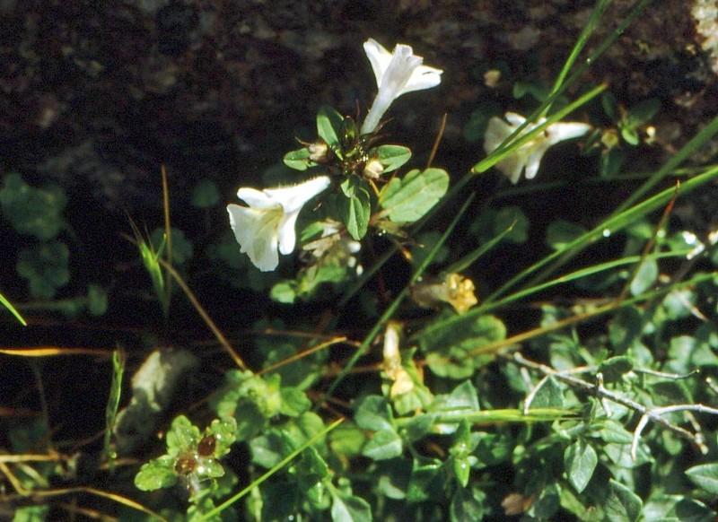 1983 16 05 13 Corse-Stachis corsica