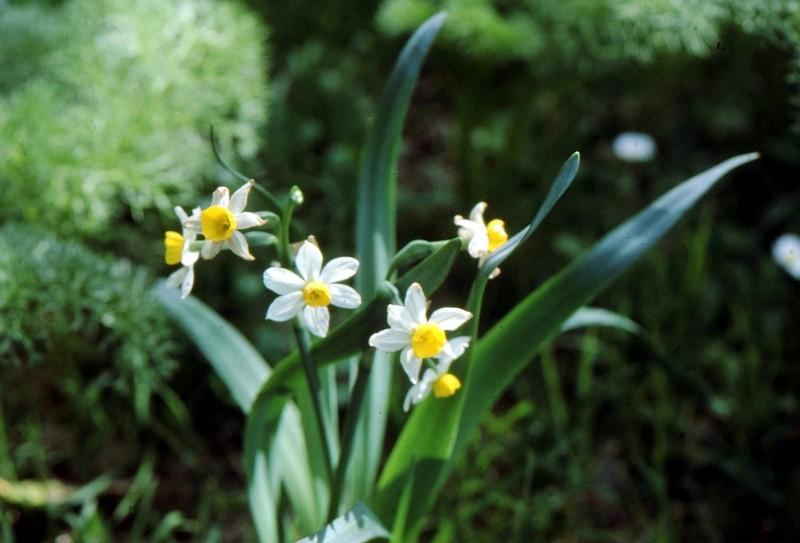 1983 163 Lang 105 94 04 Narcissus tazetta