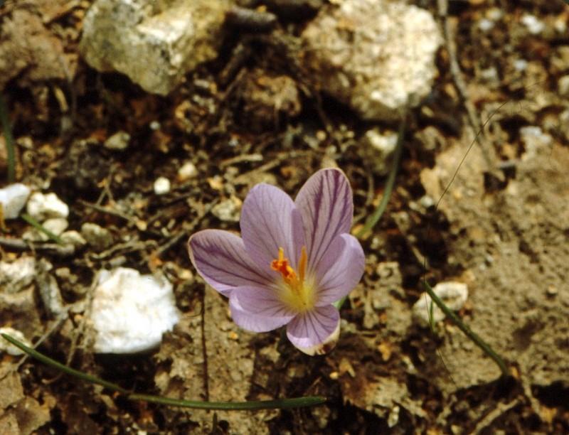 1983 17 05 09 Corse-Crocus corsicus