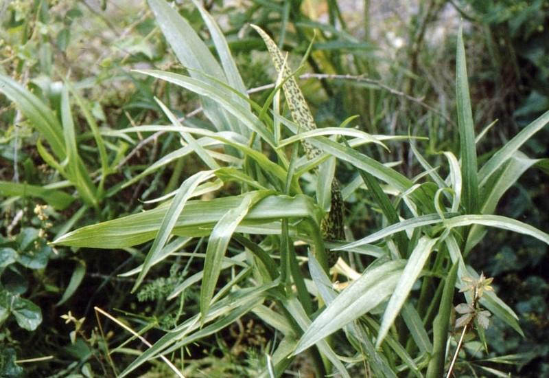 1983 17 05 14 Corse- Dracunculus muscivorum