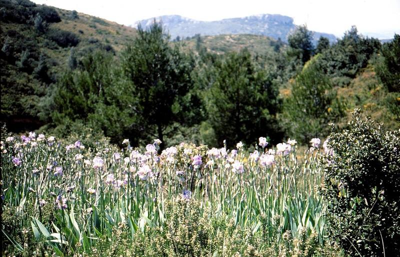 1989 09- Iris de Florence subspontanés