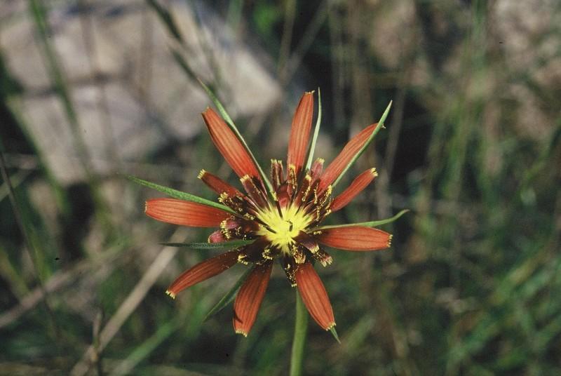 22-Tragopogon crocifolius