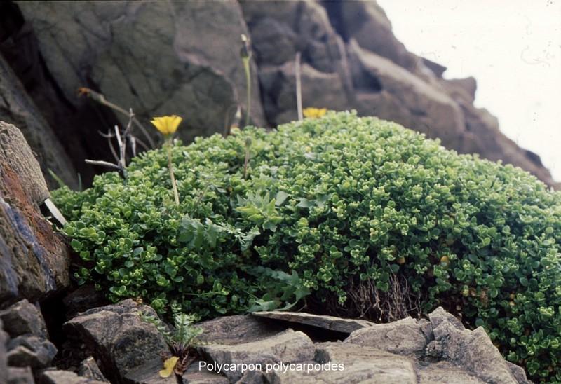 23-Polycarpon polycarpoides