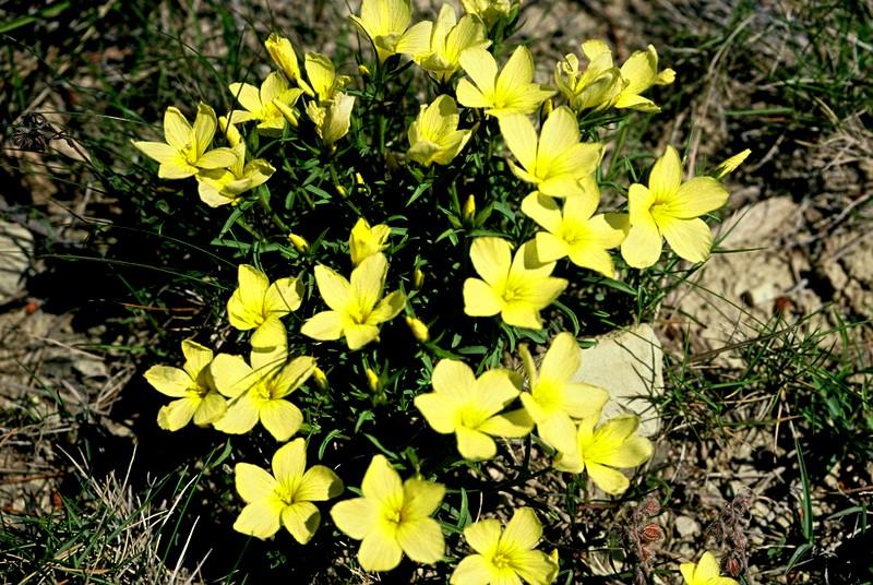 25-Linum campanulatum