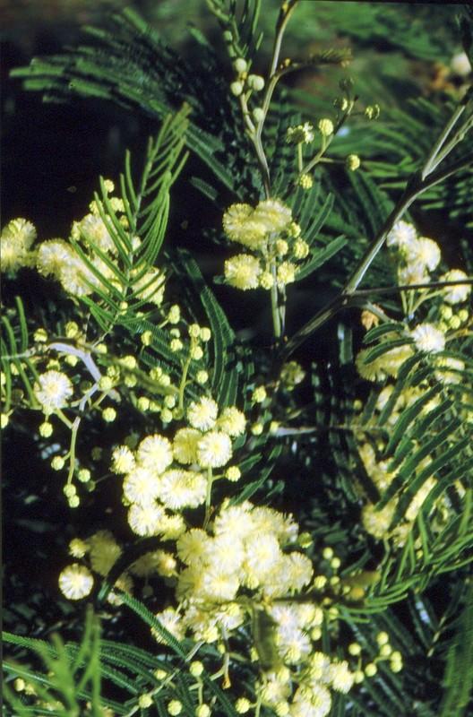 1987 Portugal Acacia melanoxylon